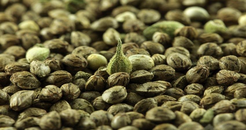 Female Marijuana seeds